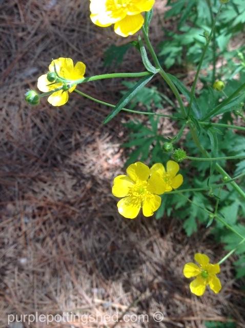 Buttercups 1.jpg