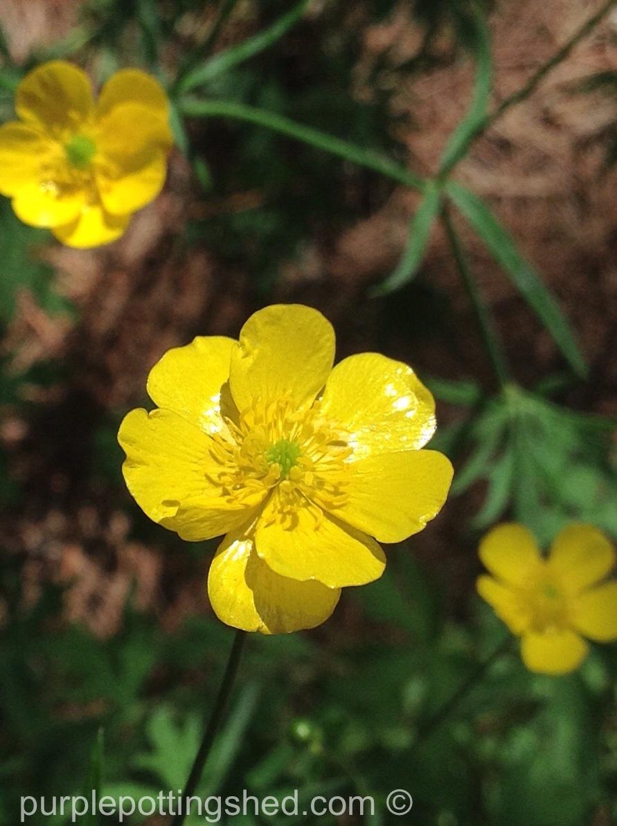 Buttercups 4.jpg