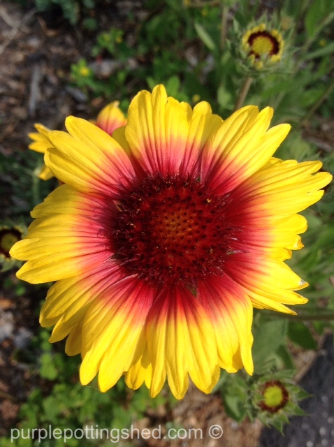 Blanket flower 1.jpg