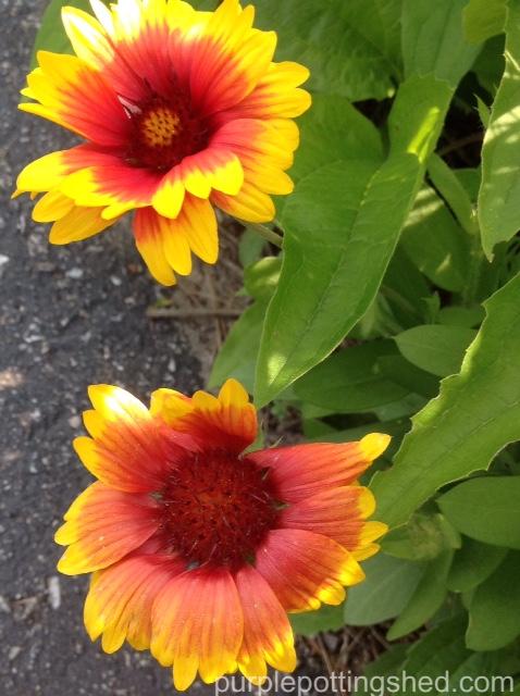 Blanket flower 4.jpg