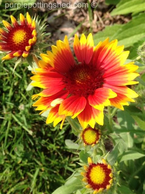 Blanket flower 6.jpg