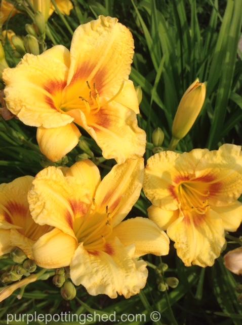 Daylily 1.jpg