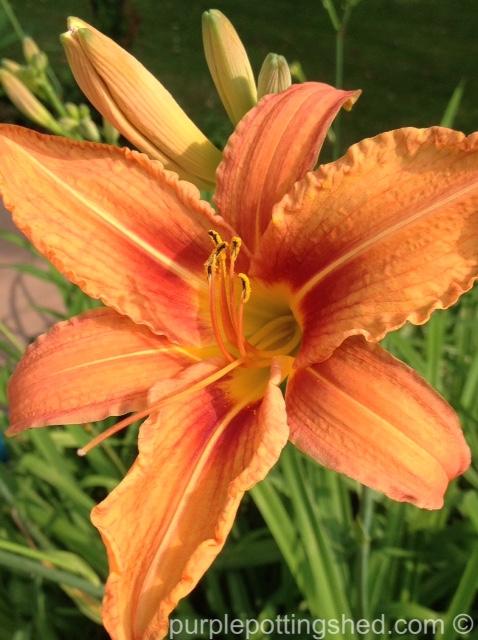 Daylily 3.jpg