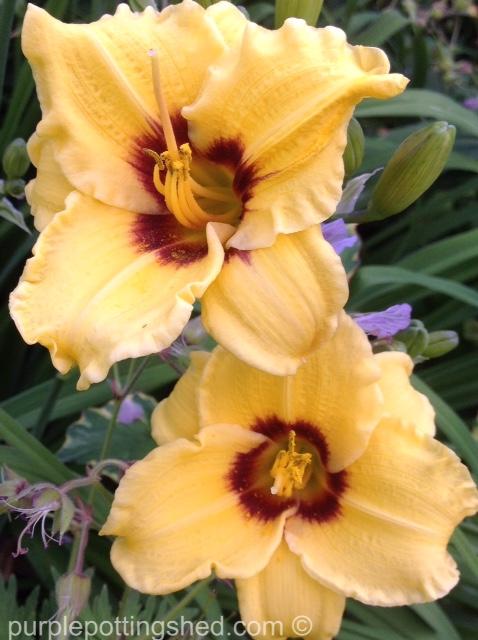 Daylily 4.jpg