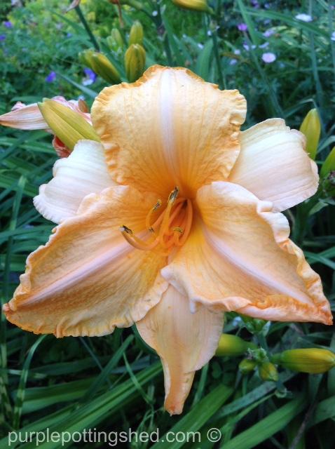 Daylily 5.jpg