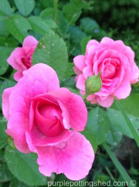 Rose, candy pink 1.jpg