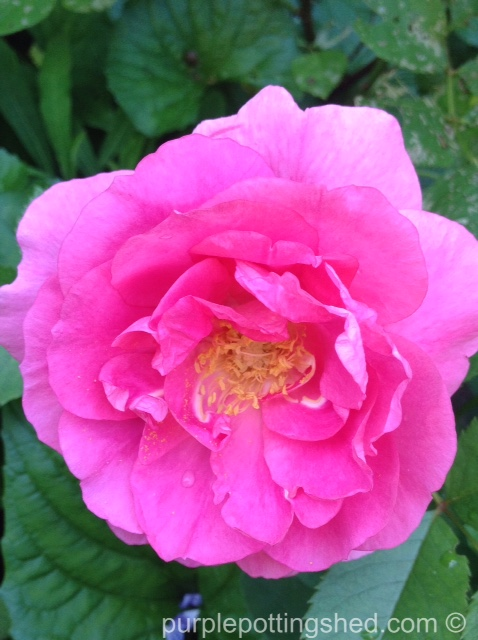 Rose, candy pink 3.jpg