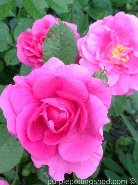 Rose, candy pink 4.jpg