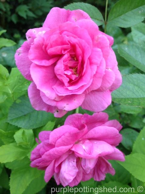 Rose, candy pink 5.jpg
