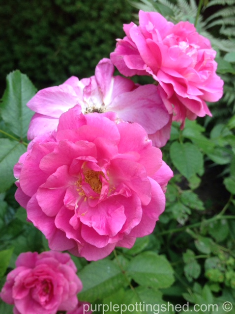 Rose, candy pink 6.jpg