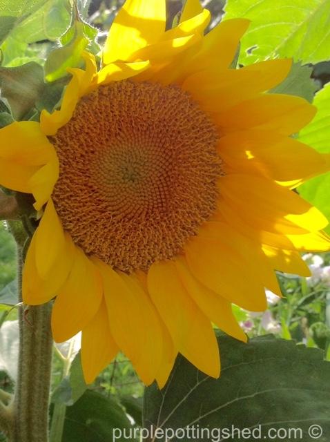 Sunflower 6.jpg
