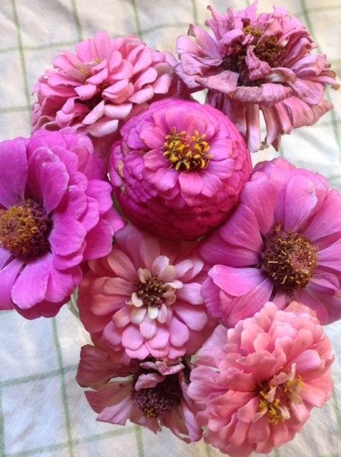 Zinnias, shades of pink.jpg