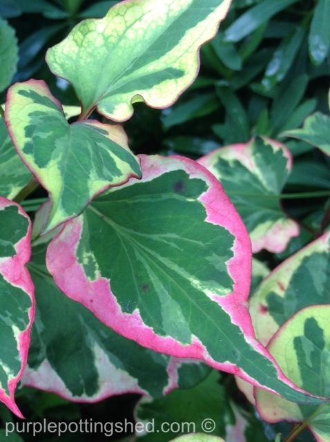 Chameleon plant.jpg