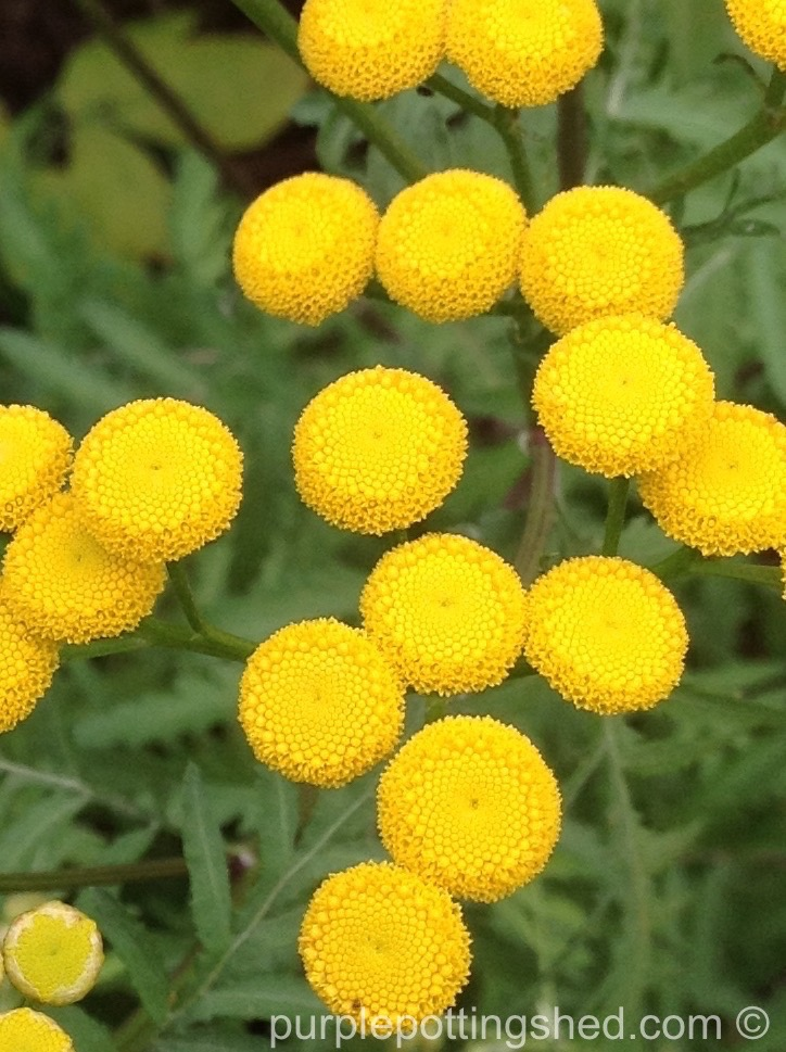 Tansy buttons.jpg
