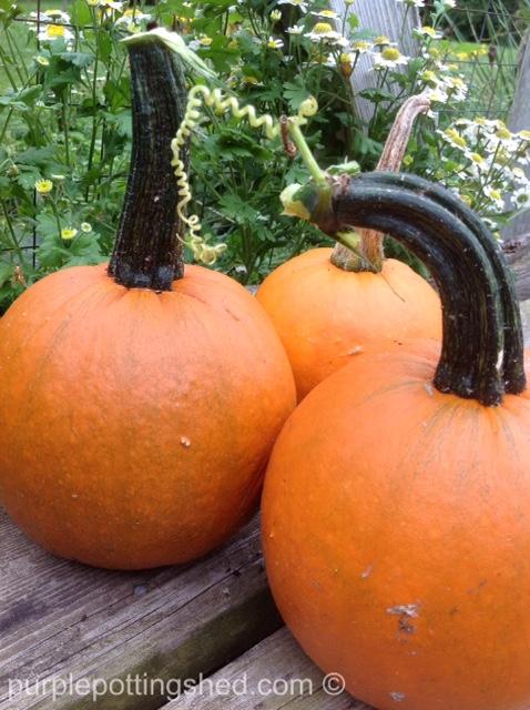 Pumpkins, pie pumpkins.jpg