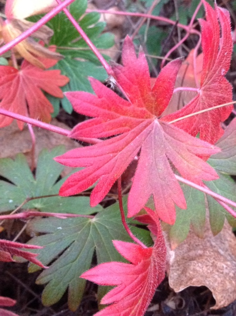 Hardy geranium, autumn 2.jpg