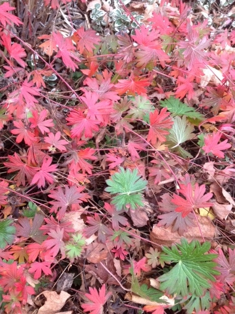 Hardy geranium, autumn 1.jpg
