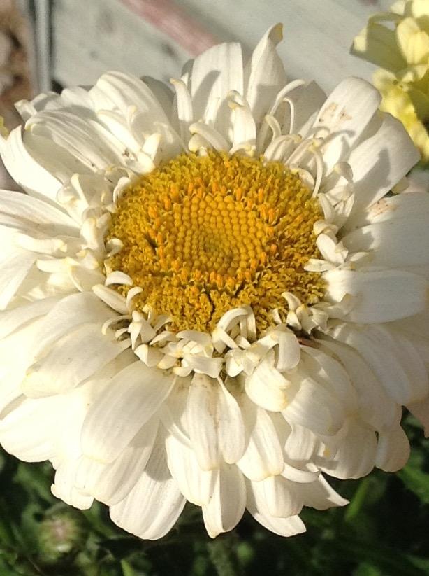 Daisy 5.jpg