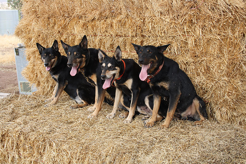 We have won the National Kelpie Championship 9 times & come 2nd 13 times. As well as coming 1st 2nd & 3rd in the Australian Yard Dog Championship at the one trial, This has never been done by any other competitor.  Four of our 7 National Champions Left to Right :- Karana Digger II who won the National Kelpie Utility Championship 3 times the only dog in the history of the Kelpie Trial to have won 3 times, Karana Duke, Karana Sami, Karana Abba II who won the National Kelpie Championship 2 times. There are 2 National Champions that are missing from this photo Karana Seiko was our first winner & Karana Ripper II was our last winner, Ripper was the son of Sami & by Digger.  Another well performed dog is Karana Tige II who came 2nd 2 years in a row 2017 & 2018 in the National Kelpie Championship. Tige is also a son of Sami by Abba II.  2 of our other National Champions Karana Seiko & Karana Stubbie ( having won the Australian Yard Dog Championship & his brother Seiko coming 2nd & a grand son of Seiko Karana Chad coming 3rd ) all of these were deceased when this picture was taken. Our other National Champion Karana Ripper II will need to be added to our list of National Champions following his latest Win in the Kelpie National 2015 in Cressy Tasmania.