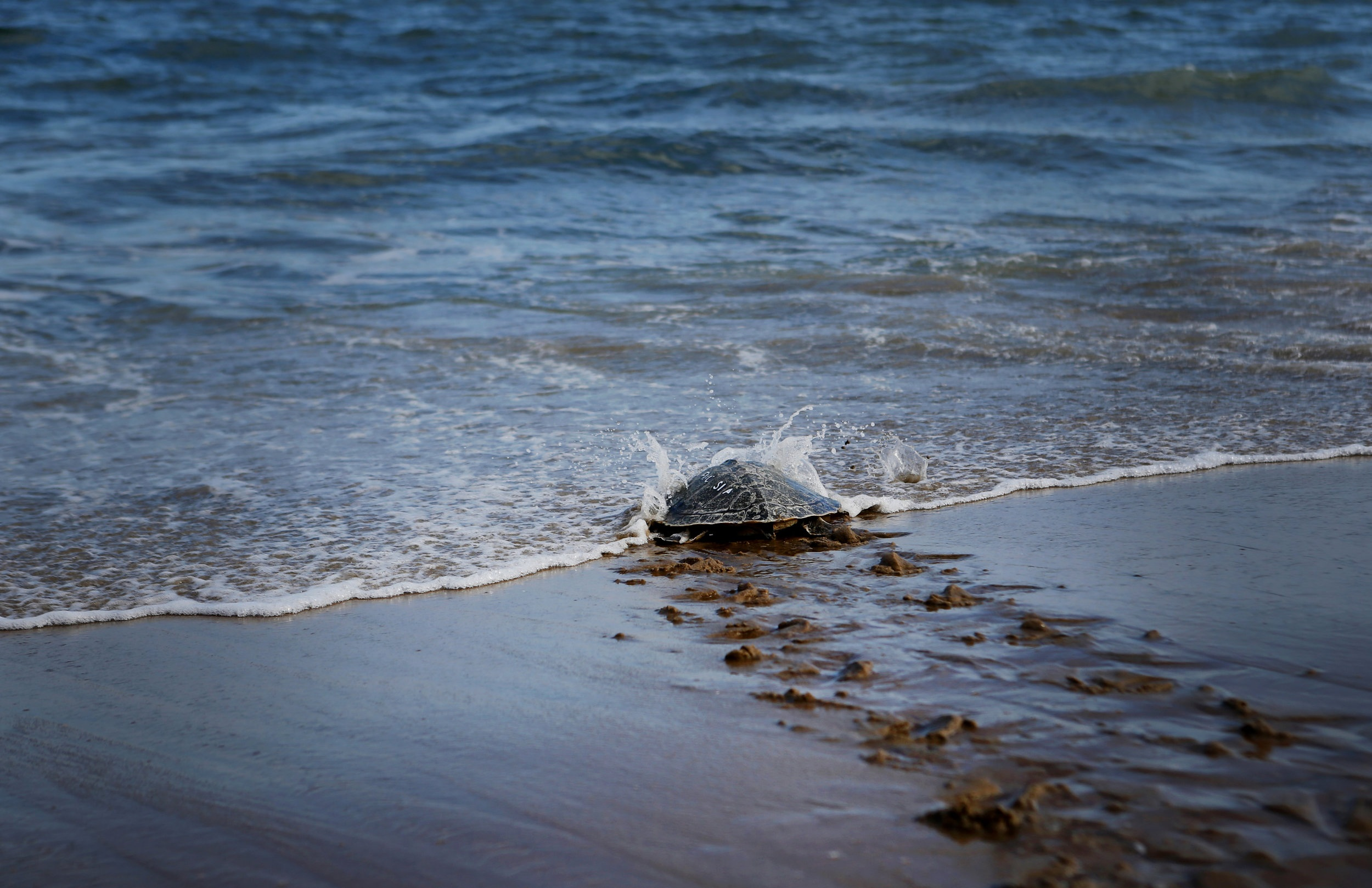 'Indigo', a juvenile sea turtle that was hooked by a recreational angler at Lynnhaven Pier on October 14, 2017, makes its way back into the ocean after being rehabilitated by the Virginia Aquarium Stranding Response Team.