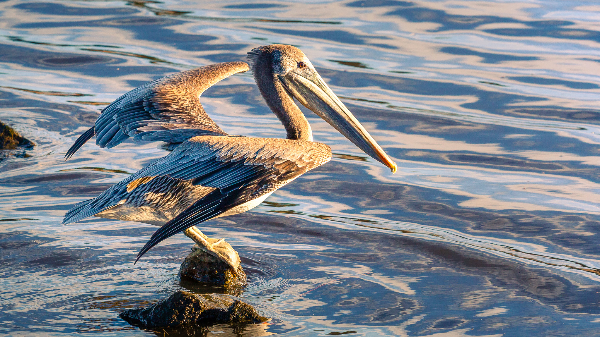 A Brown Pelican Preparing For Takeoff