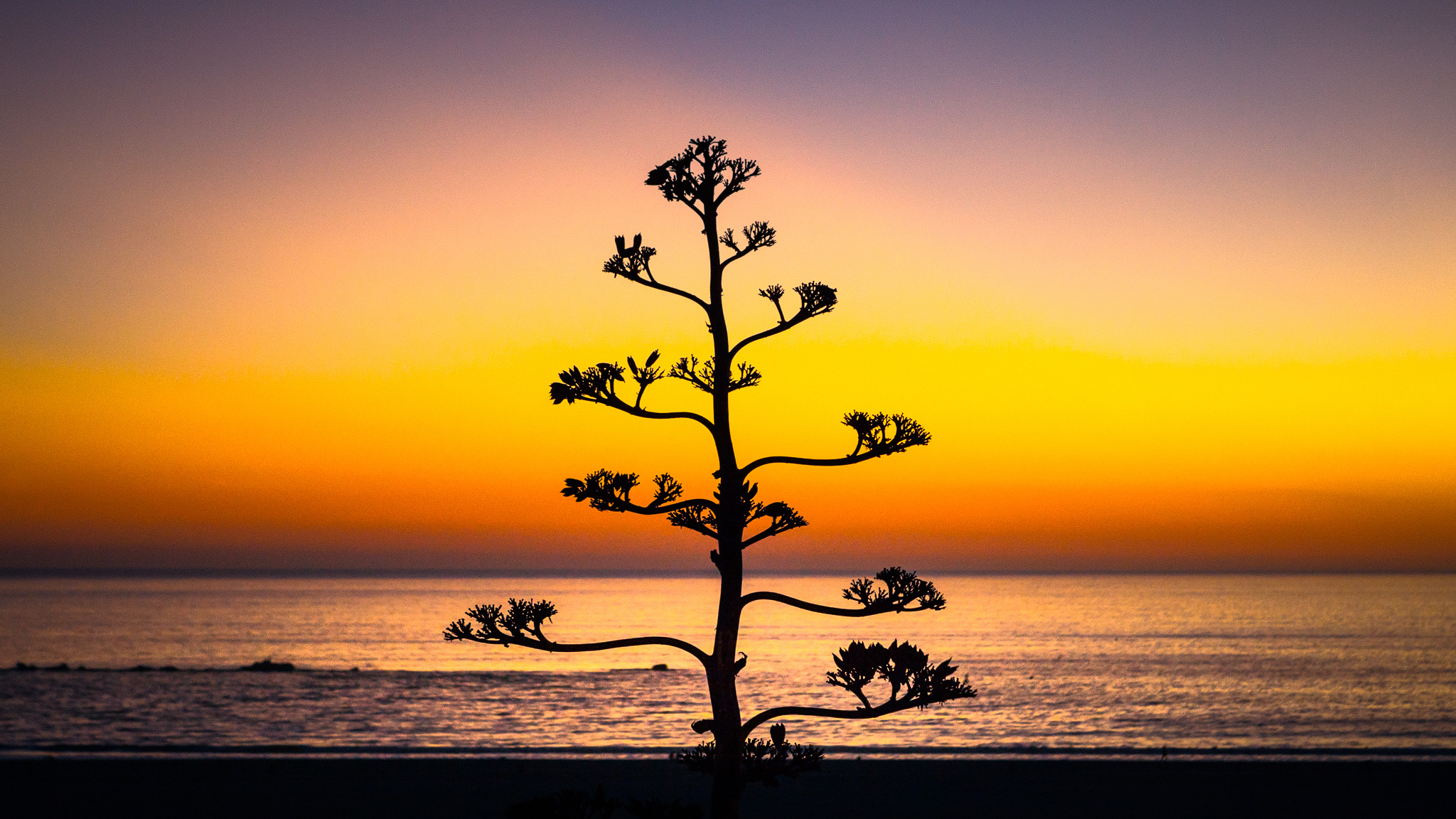Agave In Bloom At Twilight, Palisades Park, Santa Monica