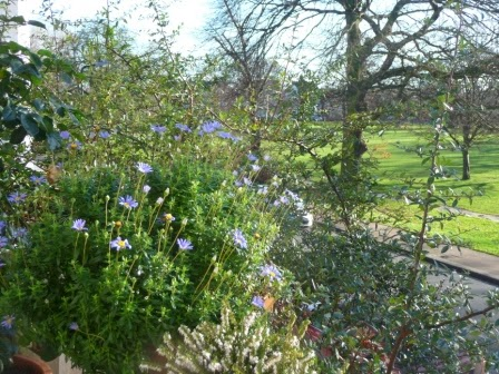 These blue daisies remind me of New Zealand and mine have been flowering profusely all winter!