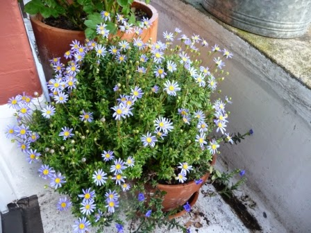 The front of my property (south facing) and my favourite blue daisy is a mass of flowers.
