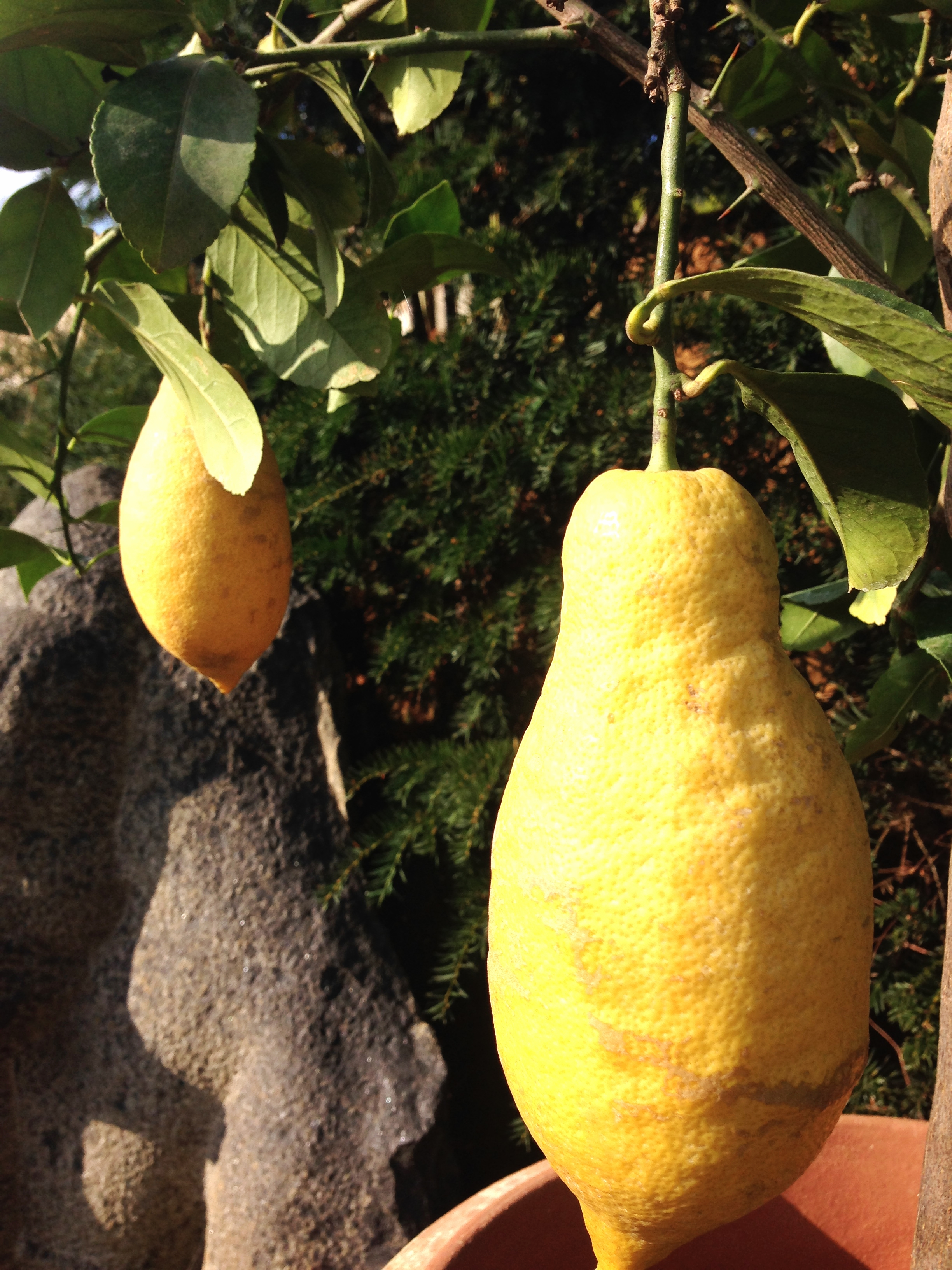 Ginormous lemons growing in a tub!!