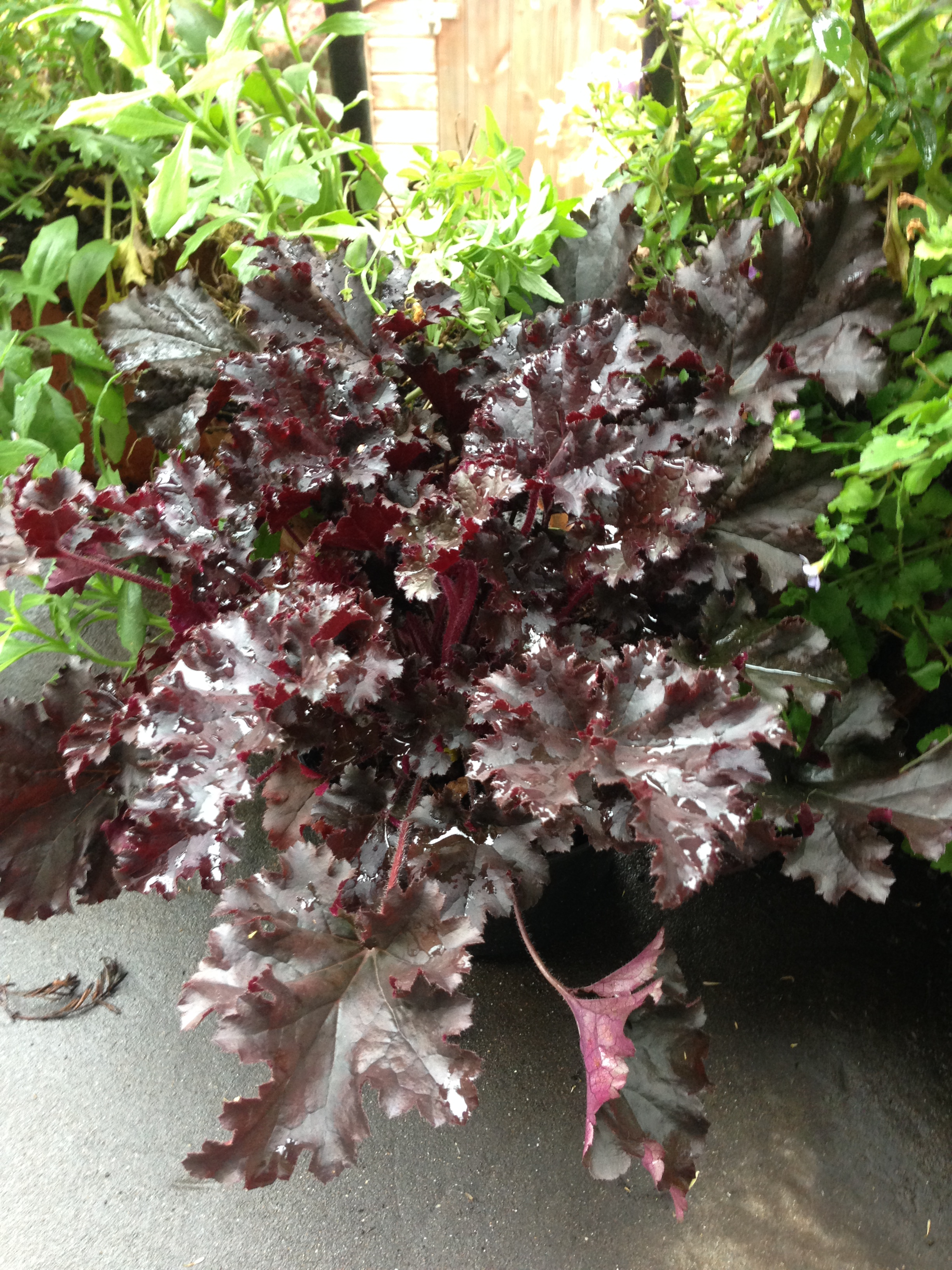 The other Heucherella that I bought. Isn't the colour amazing?
