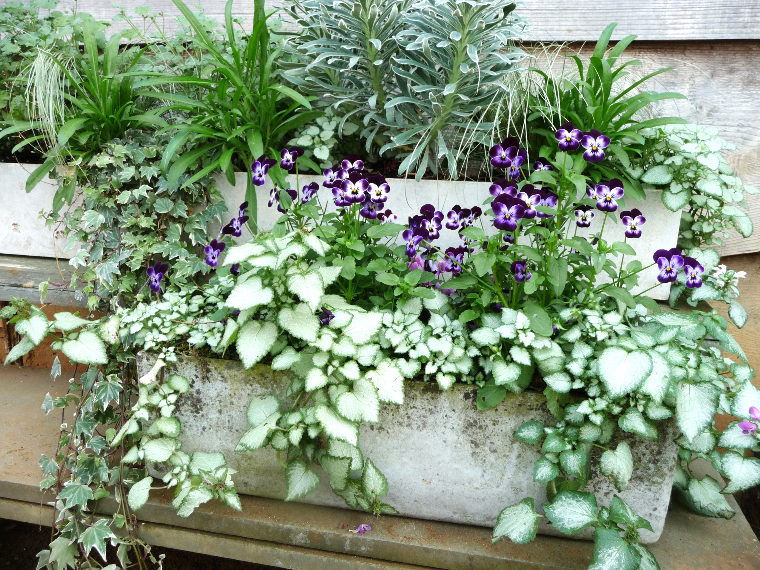 This beautiful trough of plants is outside the loos to welcome you! Look at the stunning mix of greens including the silvery greens and the way they complement each other and work so well with the purple violas