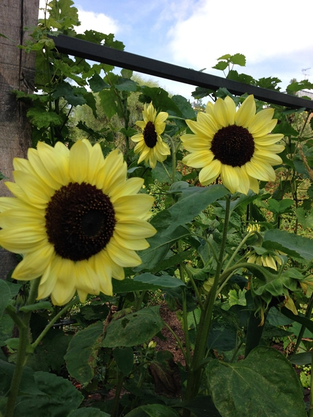 Such a subtle shade of yellow of this sunflower