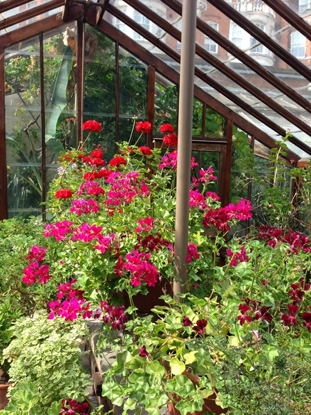 One of the little glasshouses which holds an array of pelargoniums