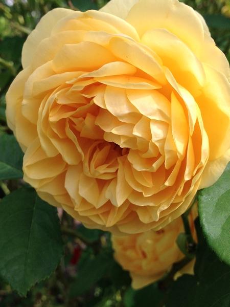 m_Rose (1).jpg