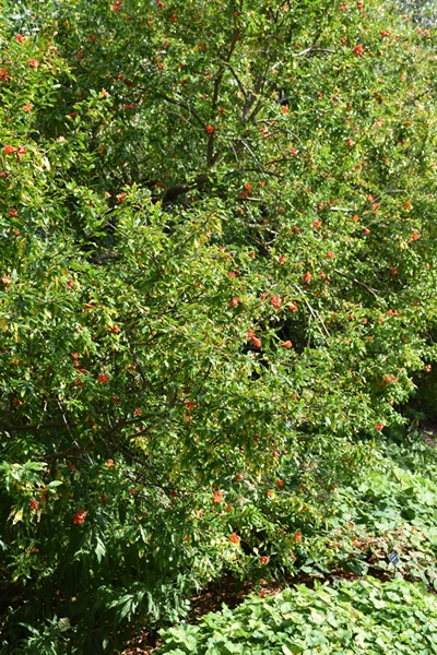 Pomegranate tree covered with flowers