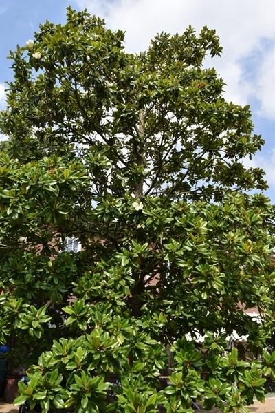 A tall magnolia still with a few flowers