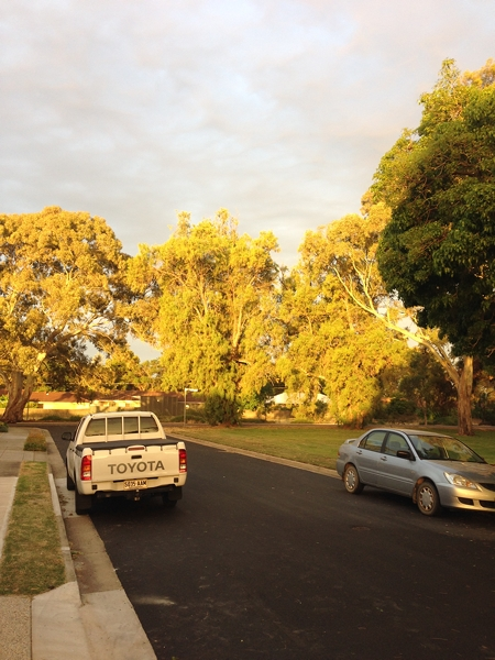 Amazing light at sunset on the gum trees