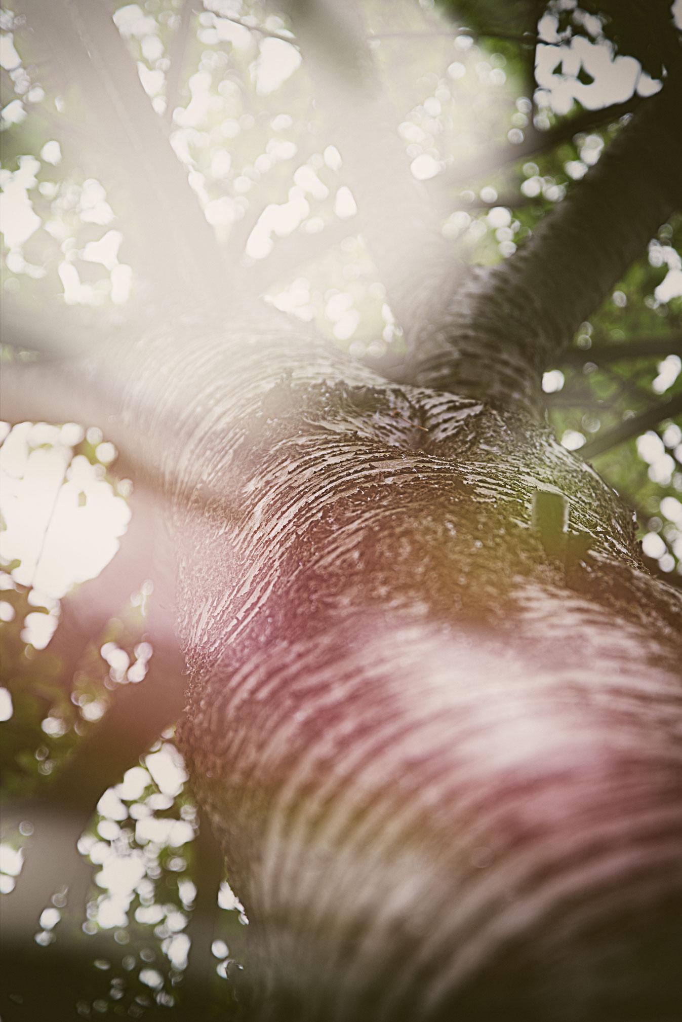 Its a Silver Birch Tree - Honest :)