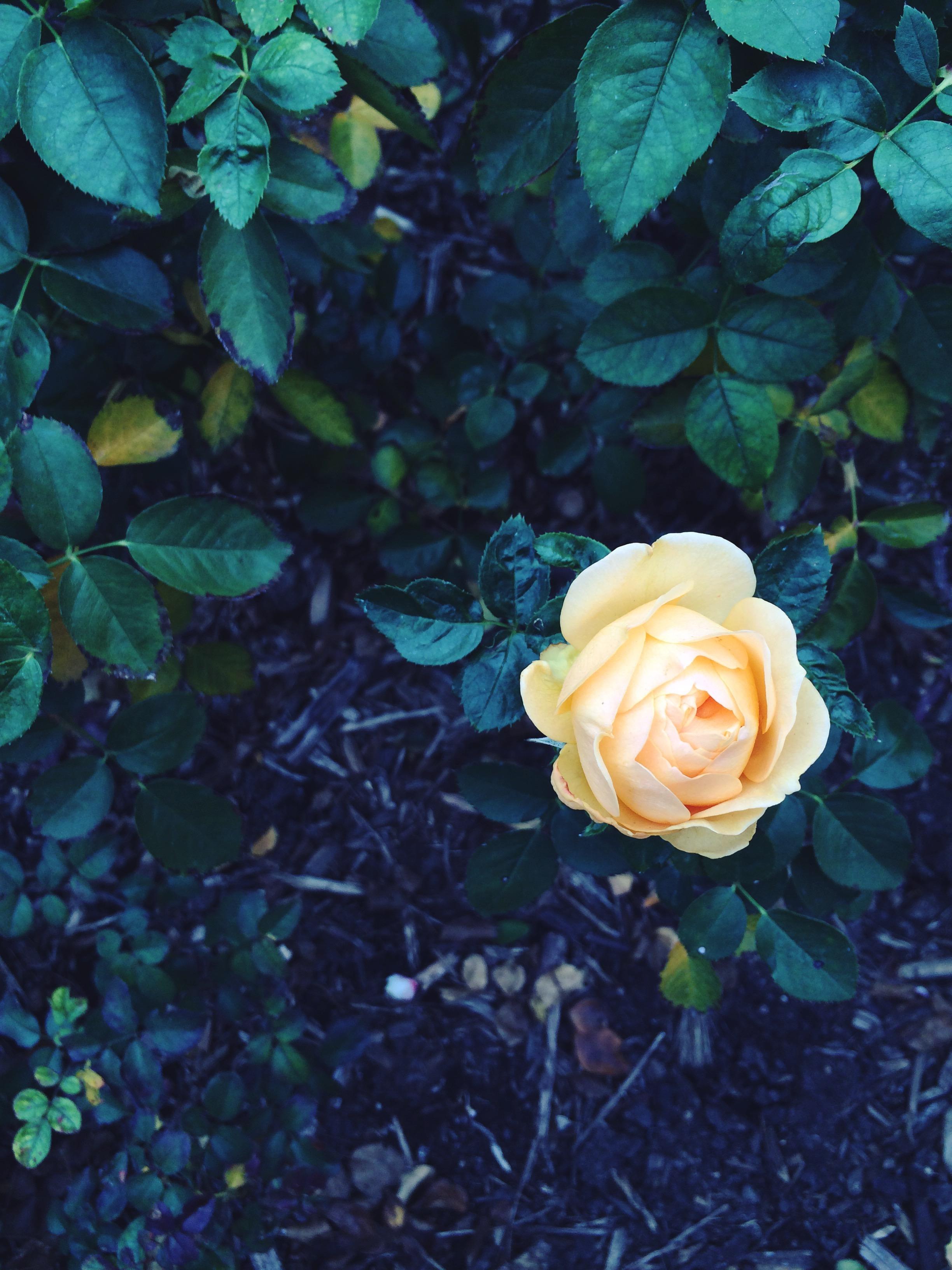 Julia Child's very good rose