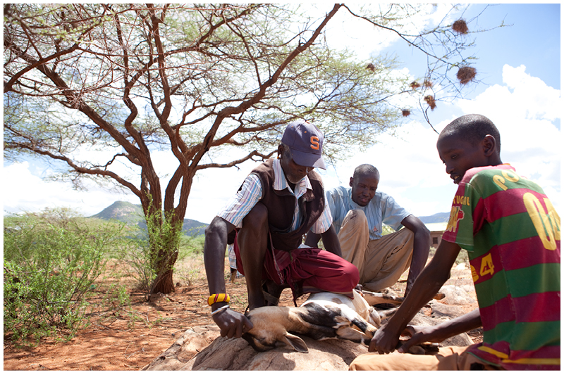 In the harsh and arid Samburu land, the milk, blodd and meat of goats and cows are essantial to the Samburu people's survival. Here an elder kills a goat for a local celebration in typical Samburu style, by suffocating it so that the animal is unconscious when it is slaughtered.