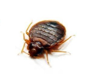 bedbug-white-background.jpg