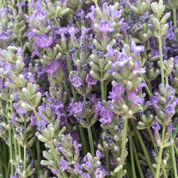 "A close-up of the ""ready-to-harvest"" lavender, partially blooming with nice ripe buds."