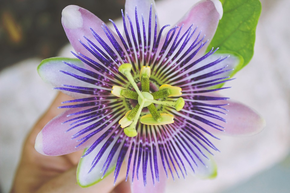 Passion Flower | Laura's Favorite Flowers | LIG Events - Washington, DC Wedding and Event Planners