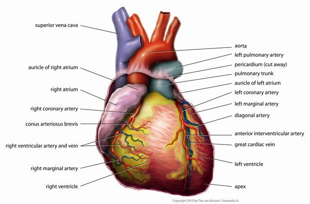 The Human Heart, Tvanbr (public domain)