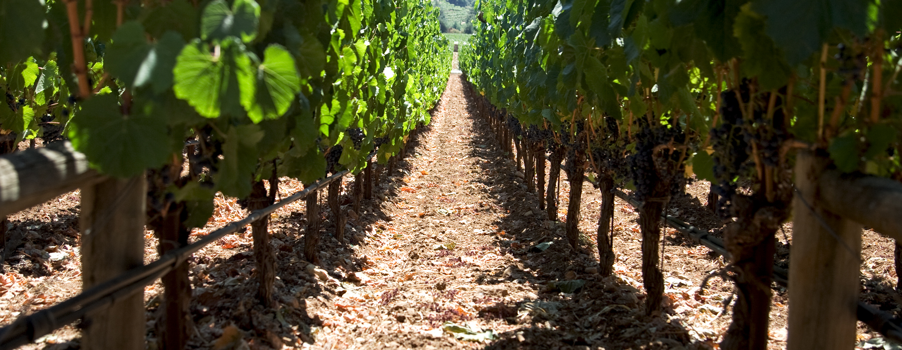 Rudd-Cabernet-Sauvignon-Vines.jpg