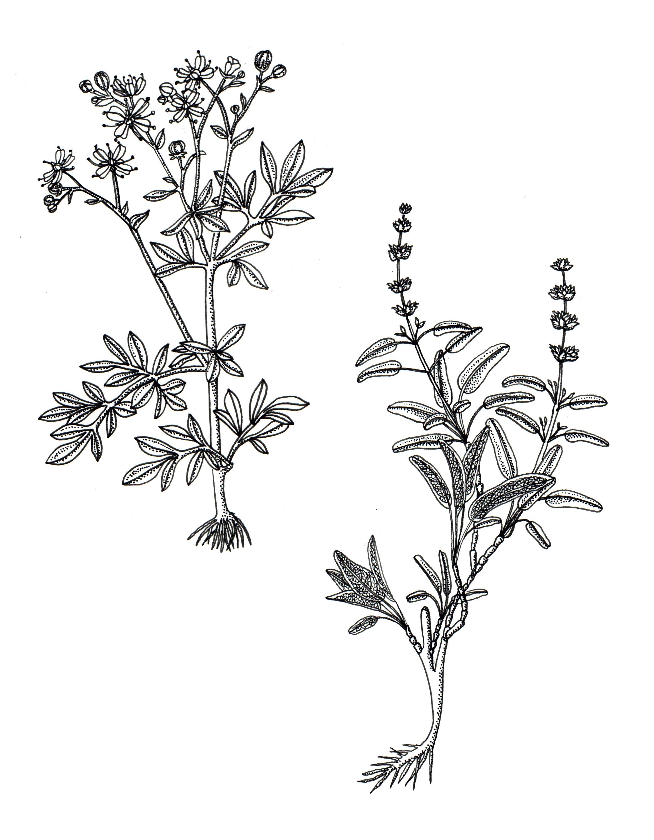 Salvia officinalis.jpg