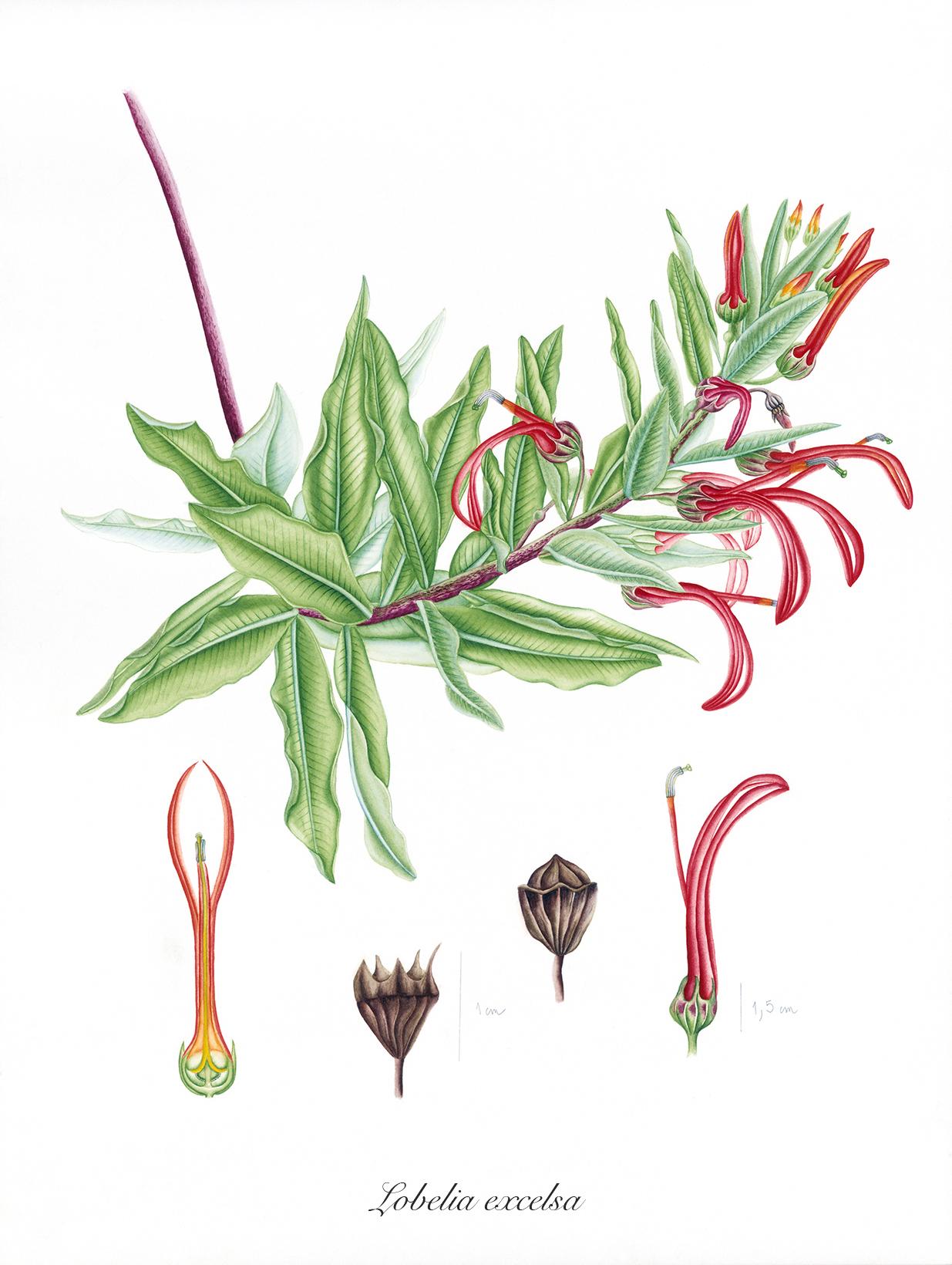 Lobelia exelsa