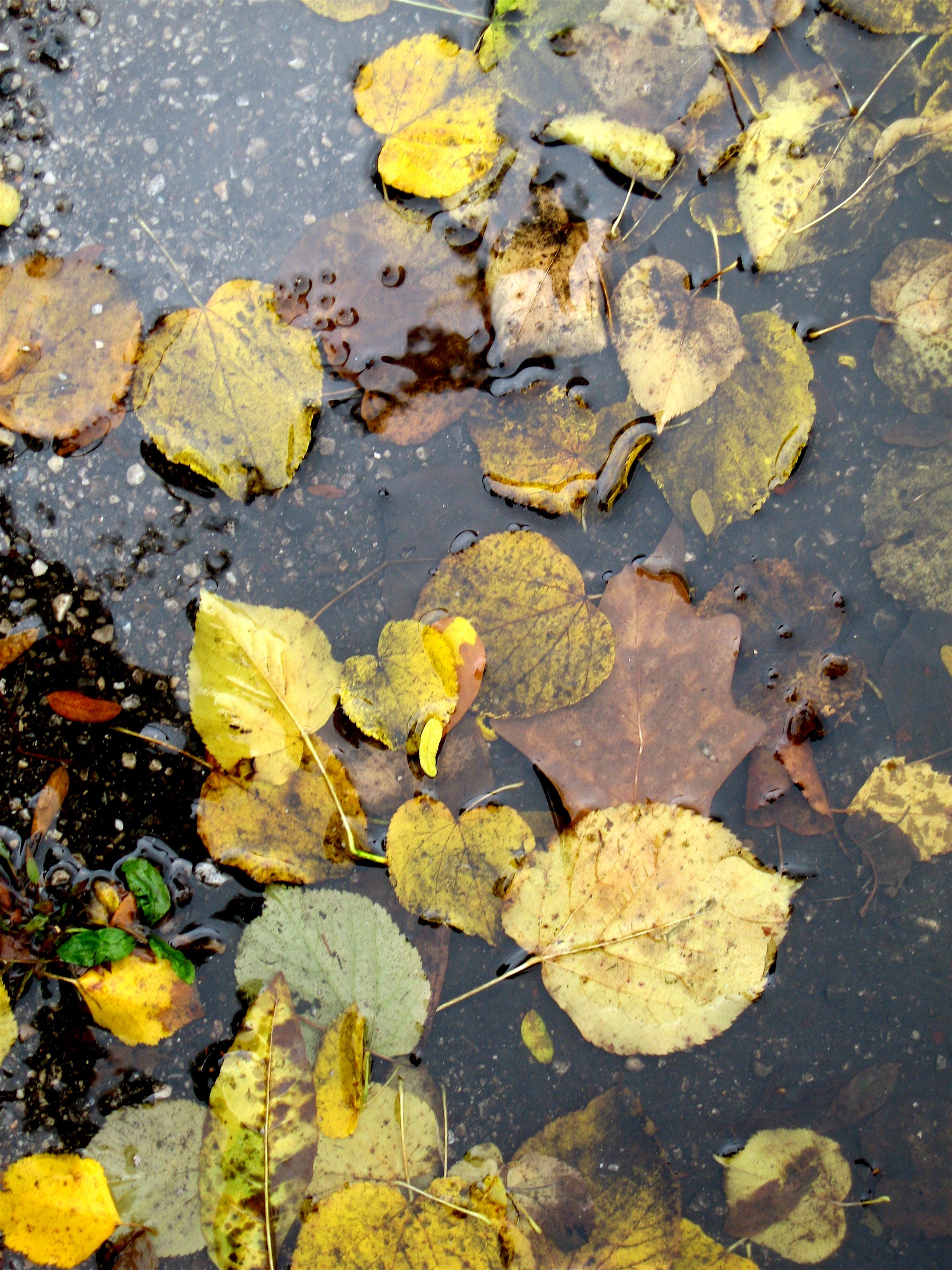Leaves in a puddle , Chicago, October 2009