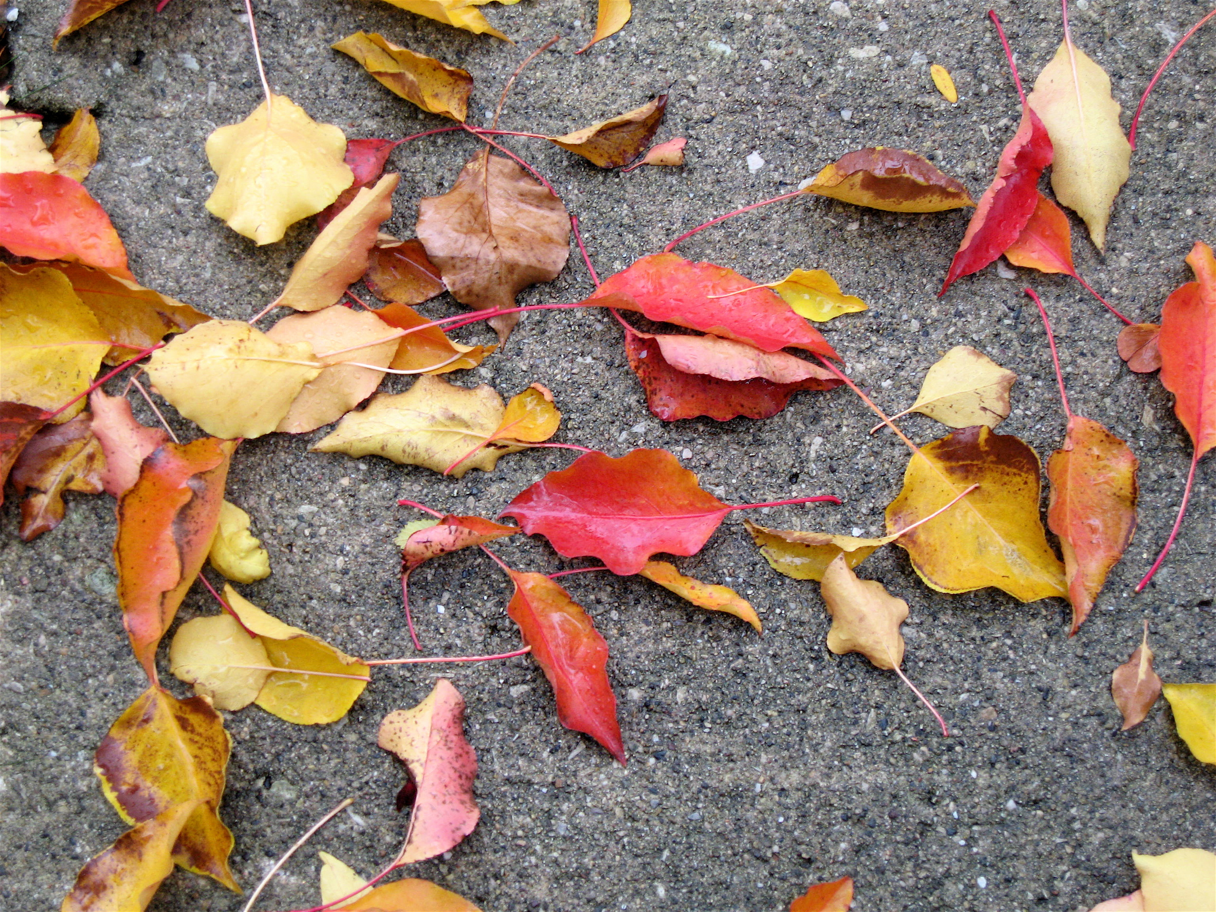Leaves on the sidewalk,  Chicago, October 2012