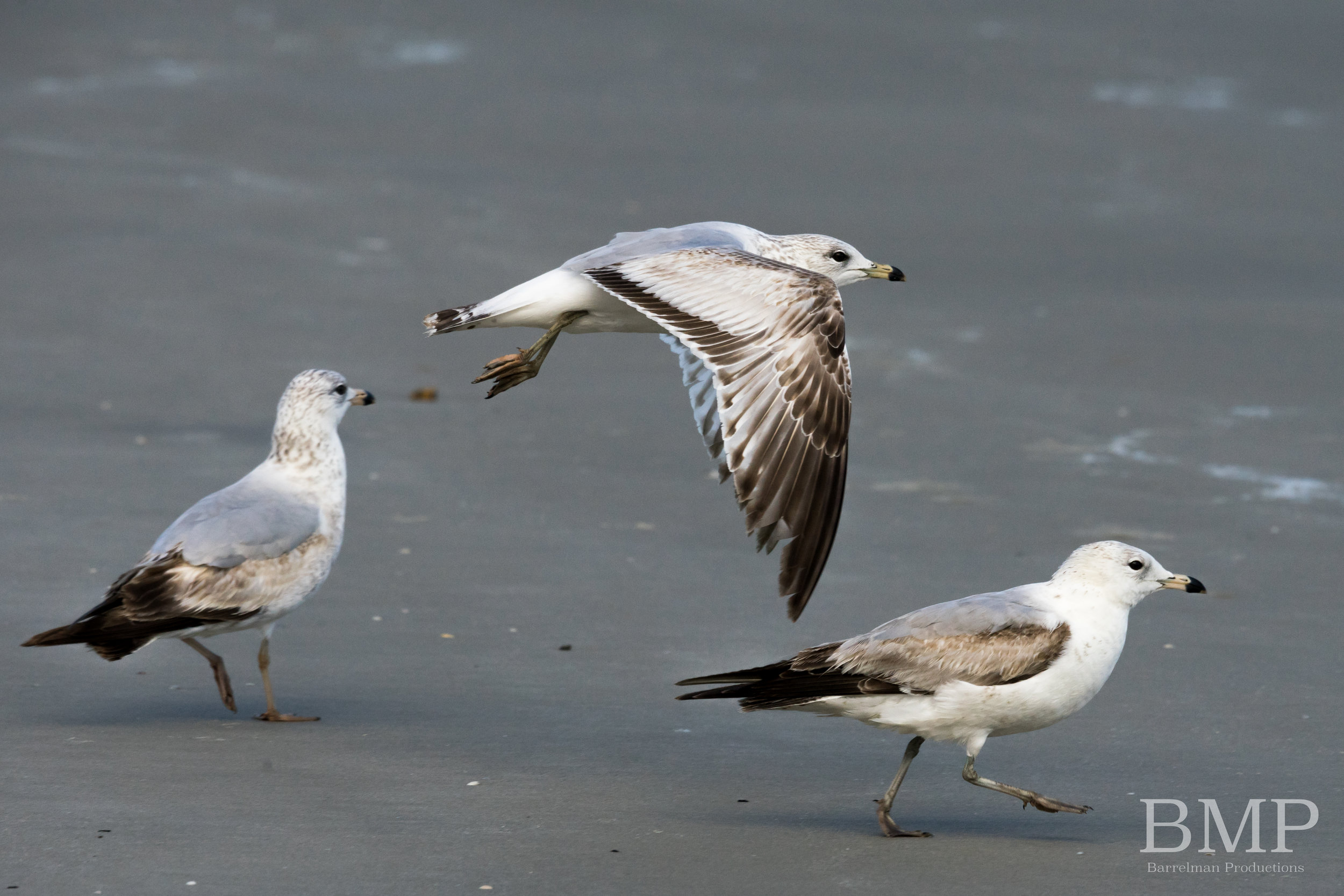 Gulls in Flight - Jekyll Island, GA